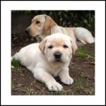 perros-labrador-2