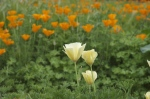california-poppy